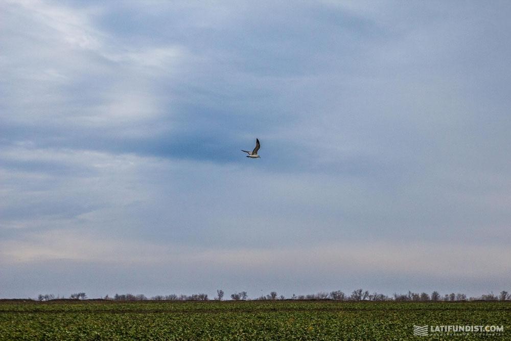 Чайка над полями